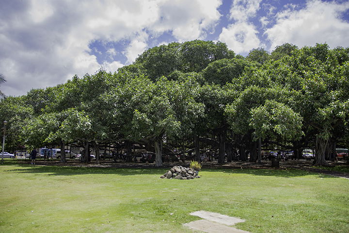 Banyan tree of Lahaina.