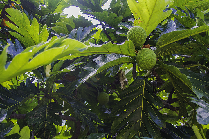 Breadfruit, one of the more versatile fruits in Hawaii.