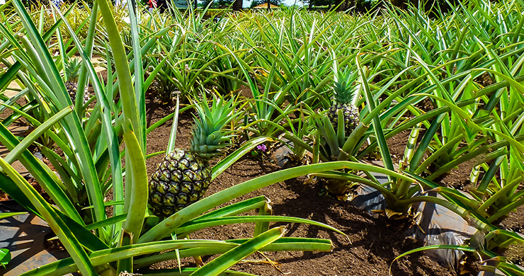 The pineapple, one of the most popular fruits in Hawaii.