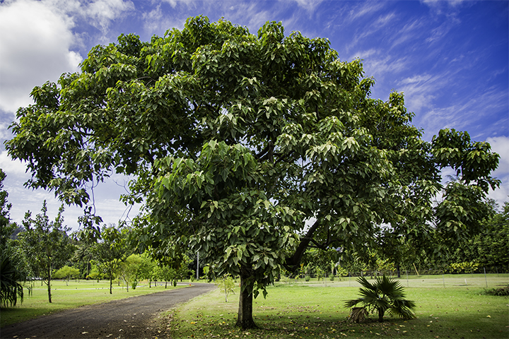 The kukui nut tree in Hawaii.