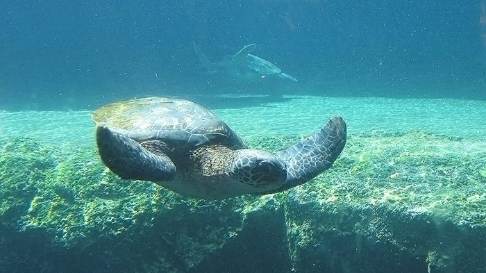 Grren sea turtle, one of Hawaii's endangered species.